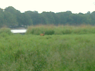 Here's a lone red deer.
